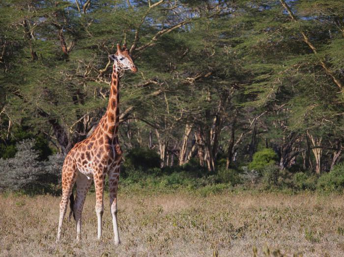 giraffe-lake-nakuru