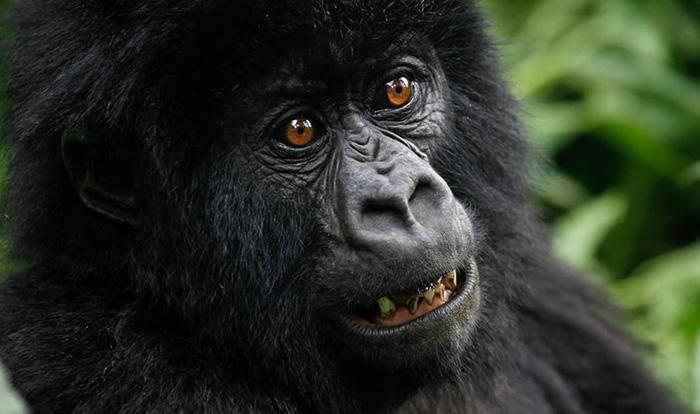 gorilla-eyes