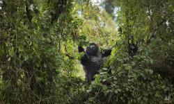 gorilla-in-rwanda