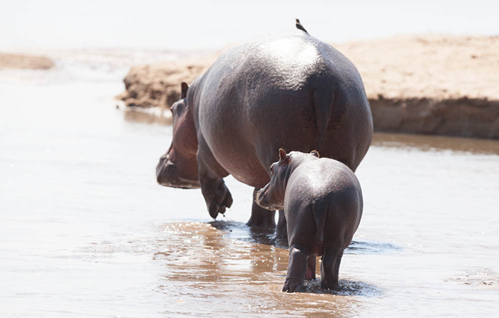 hippo-and-baby