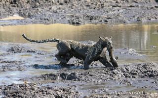 leopard-catfish-savuti
