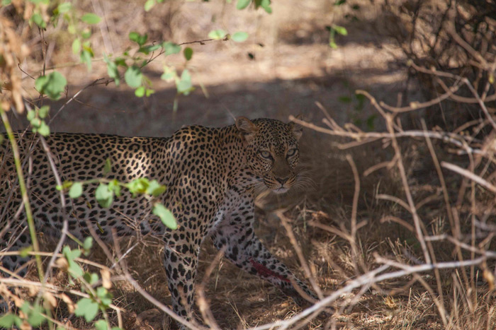 leopard-samburu