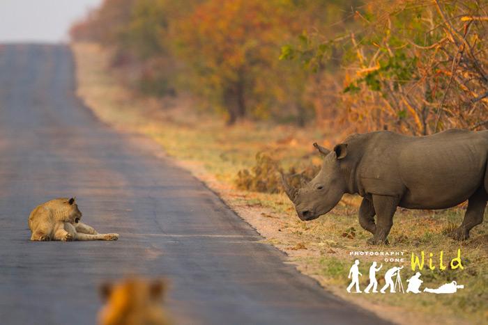 lion-and-rhino