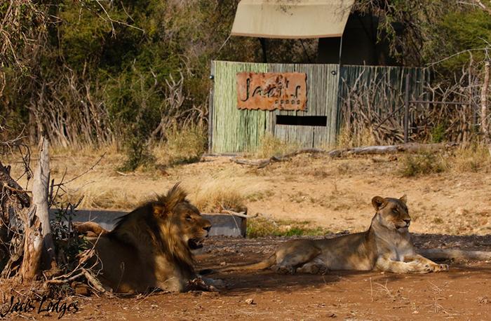 lion-couple
