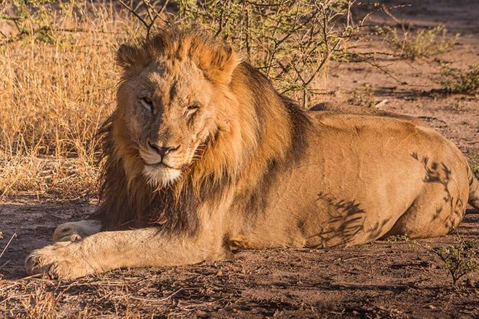 lion-in-madikwe