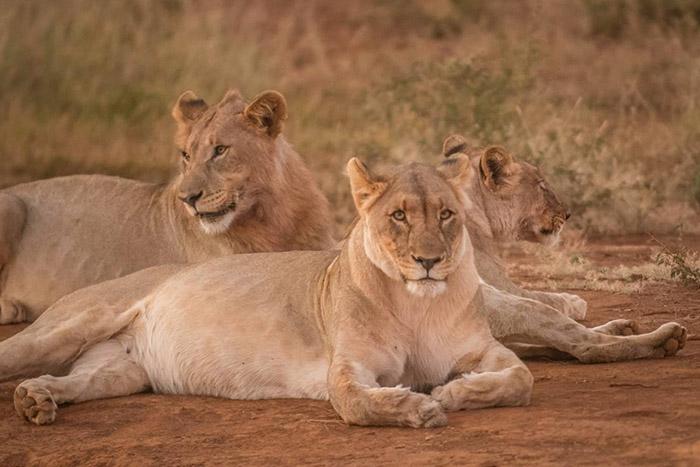 lion-pride-in-madikwe
