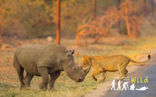 lion-rhino