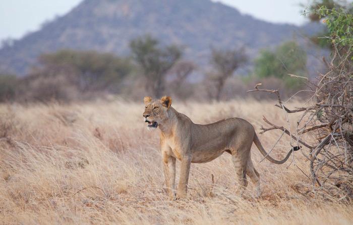 lion-samburu