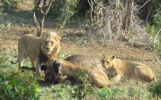 lions-feeding-on-buffalo