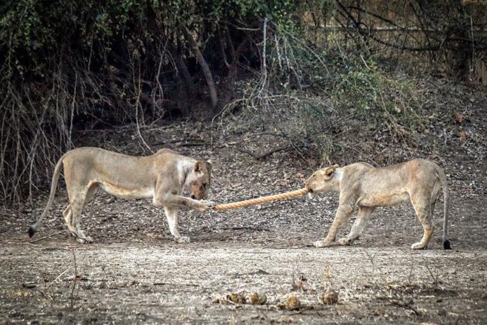 lions-play-tug-of-war