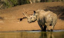 lucky-the-rhino
