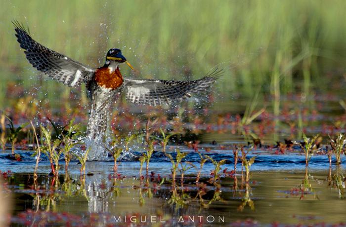 male-giant-kingfisher-diving-fishing