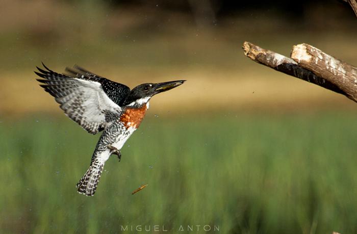 male-giant-kingfisher-flying-fishing