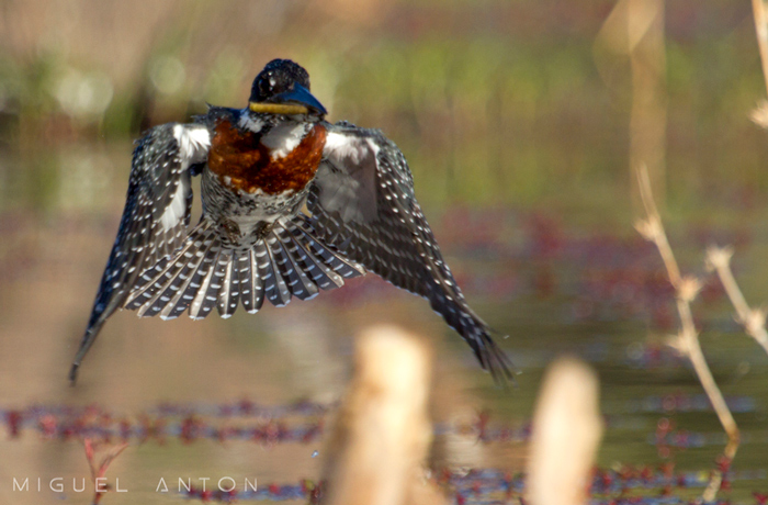 male-giant-kingfisher-flying-frontal