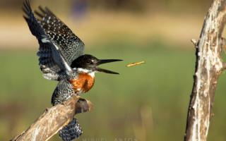 male-giant-kingfisher-okavango-twig