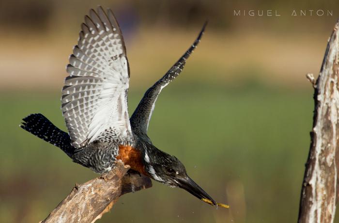 male-giant-kingfisher-okavango