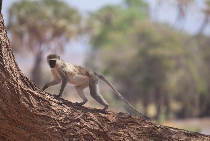 monkey-samburu