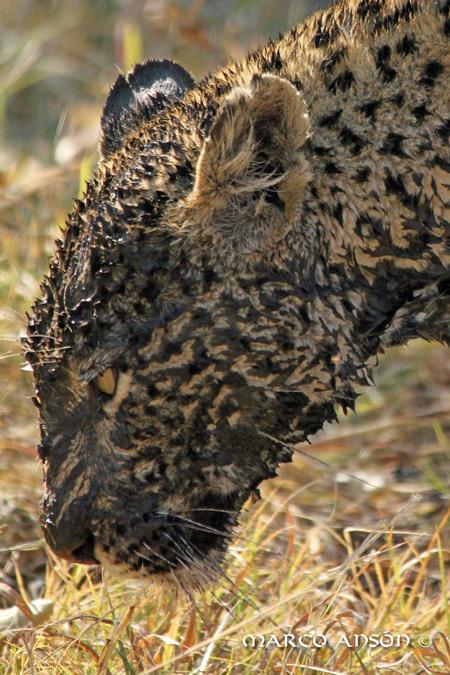 muddy-savuti-leopard
