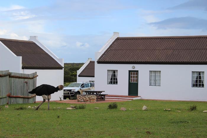 ostrich-de-hoop