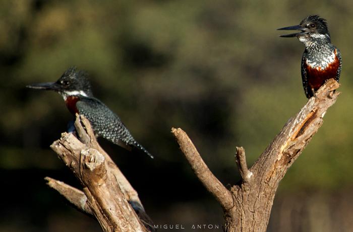 pair-giant-kingfishers-maun-okavango