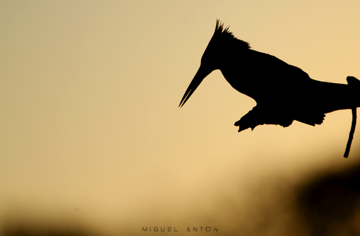pied kingfisher silhouette