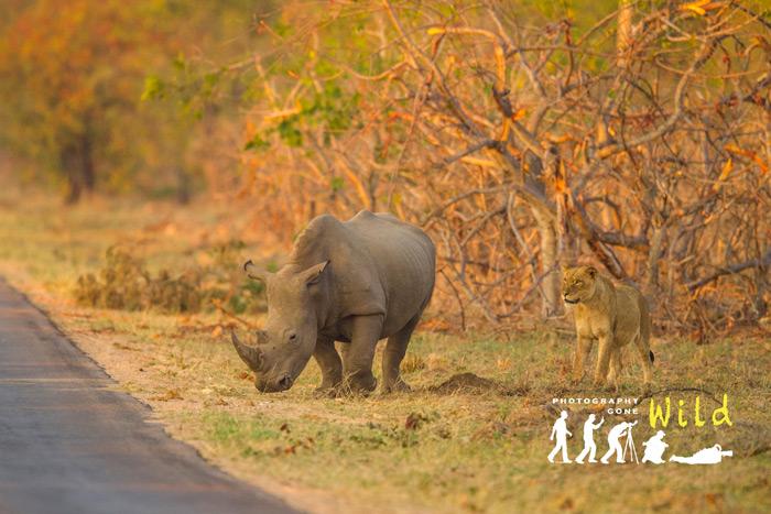 rhino-lion