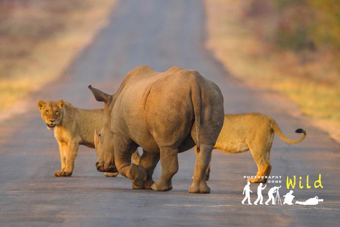 rhino-two-lions