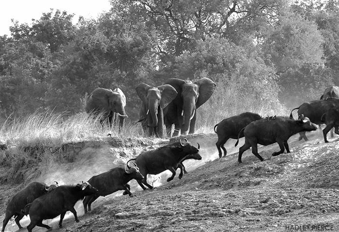 running-buffaloes