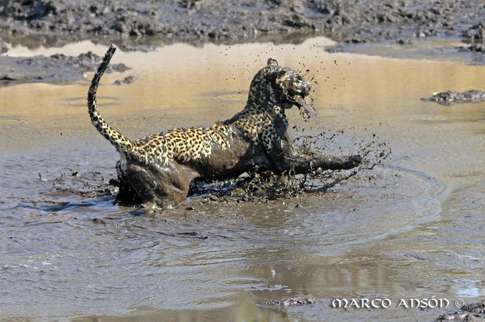 savuti-leopard-fishing