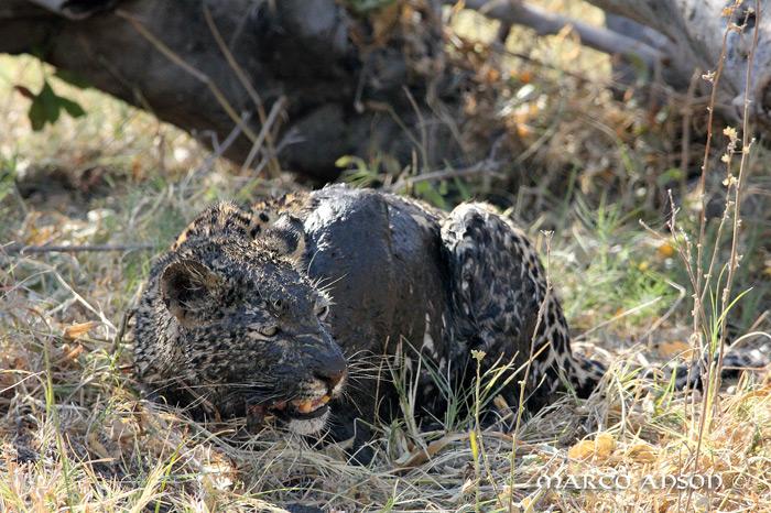 savuti-leopard-muddy