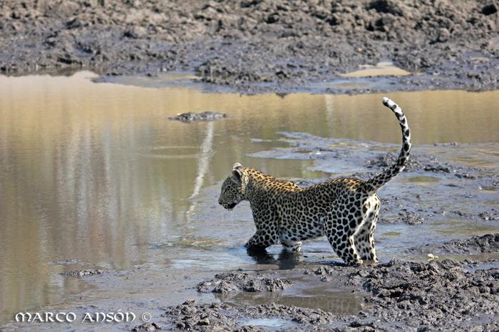 savuti-leopard-water
