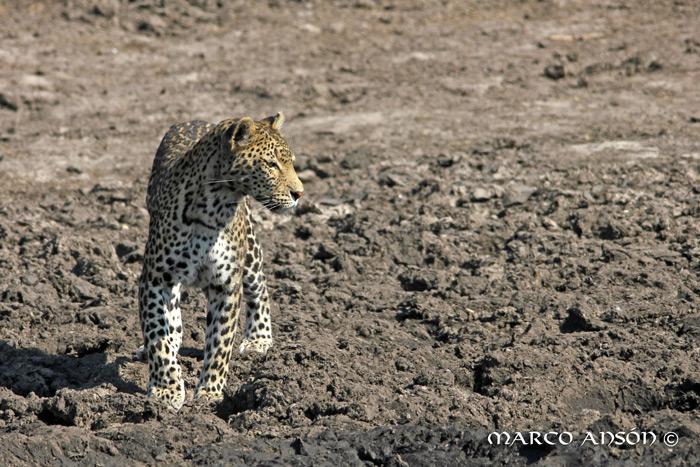 savuti-leopard