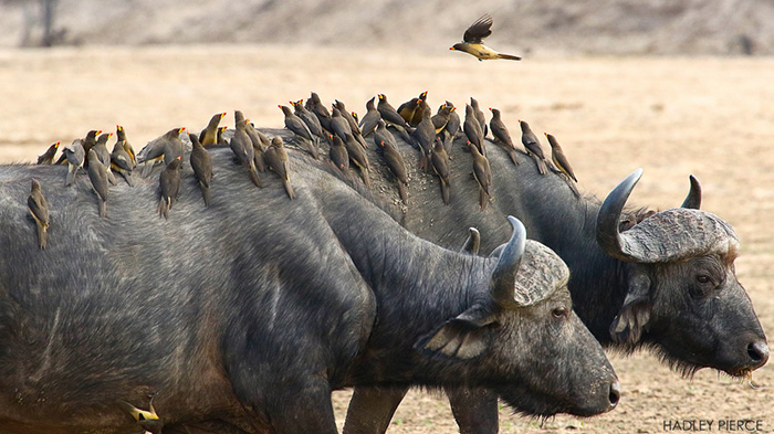 two-buffalo