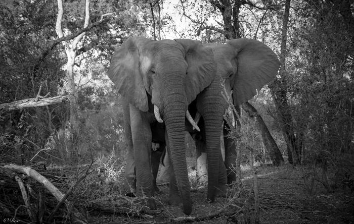 two-bull-elephants-dex-kotze