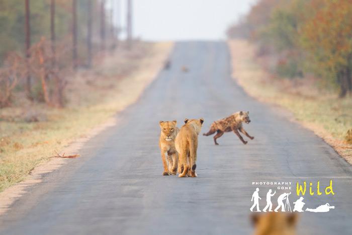 two-lions-hyena