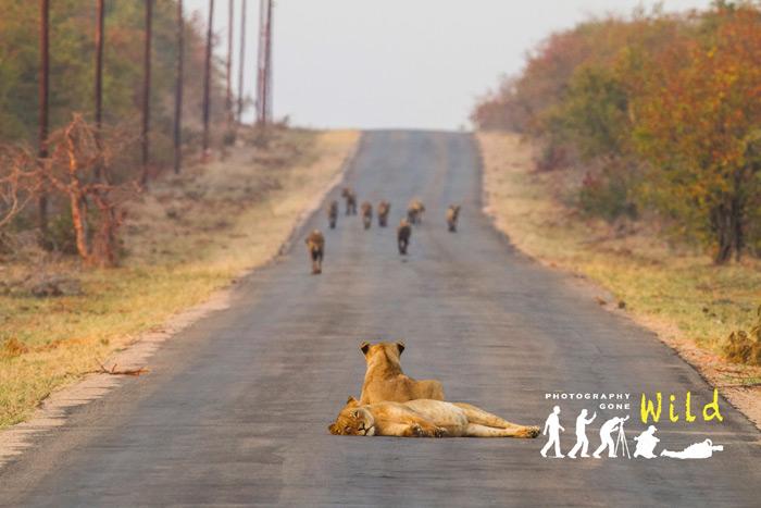 two-lions-hyenas
