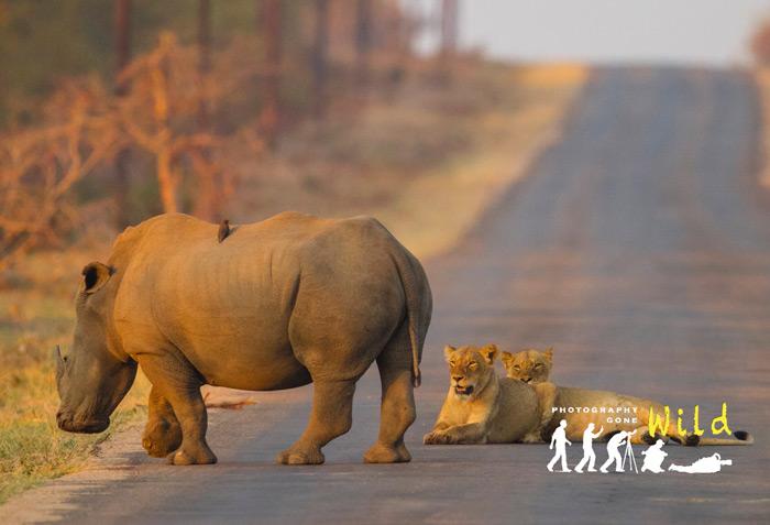 two-lions-lying-down-rhino
