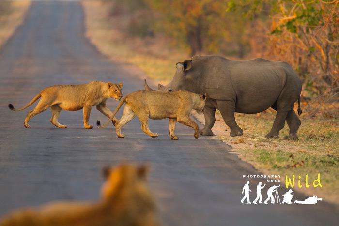 two-lions-rhino