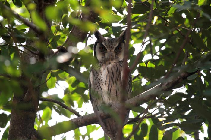 white-faced-scops-owl-mwale