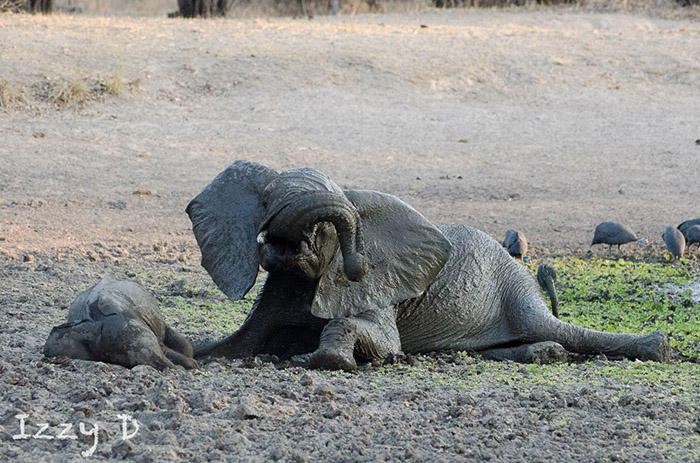 young-elephant-playing-in-the-mud