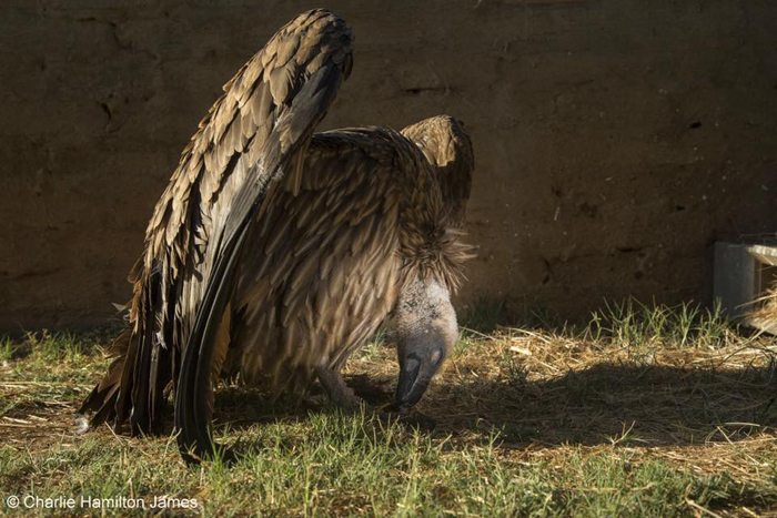 charlie-hamilton-james-vulture- wildlife-photographer-of-the-year