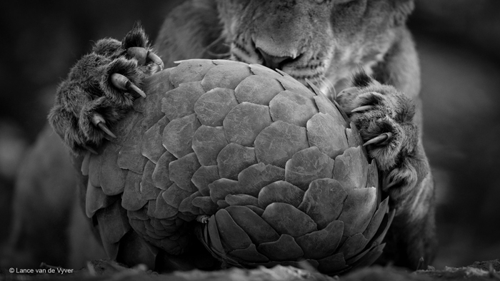 lance-van-de-vyver-lion-with-pangolin-wildlife-photographer-of-the-year-2016