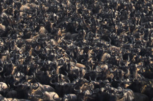 Great Wildebeest Migration Kenya Tanzania with Africa Geographic