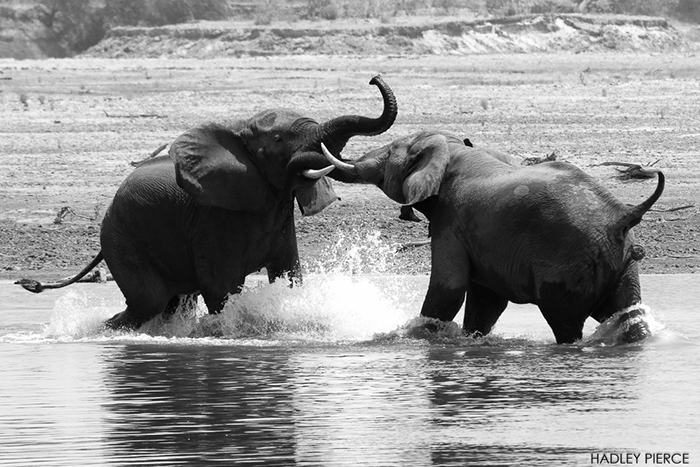 elephants-playing-in-luangwa-river