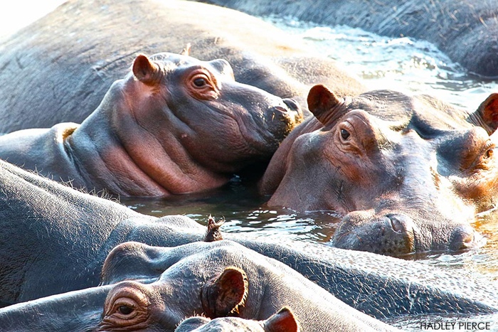 hippo-pod-in-south-luangwa