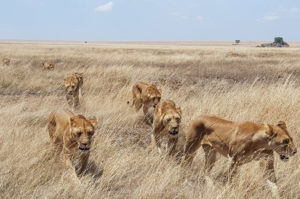 The collective nouns for lions and other animals