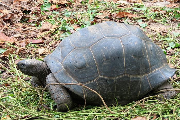 a-giant-tortoise-munching-on-garden-refuse