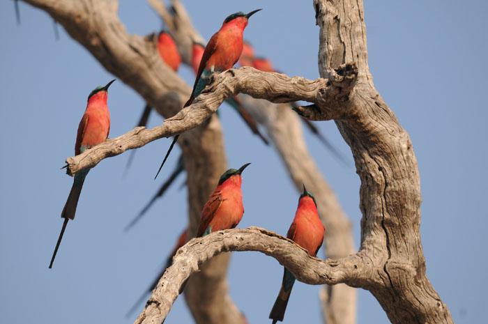 carmine-bee-eaters-at-chobe-national-park
