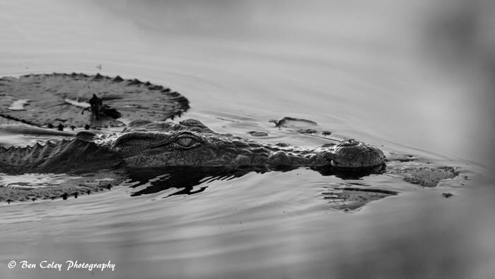submerged-crocodile