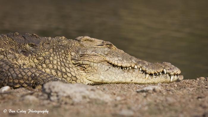 crocodile-sunbathing